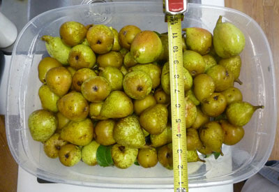 All these Pears from one small tree